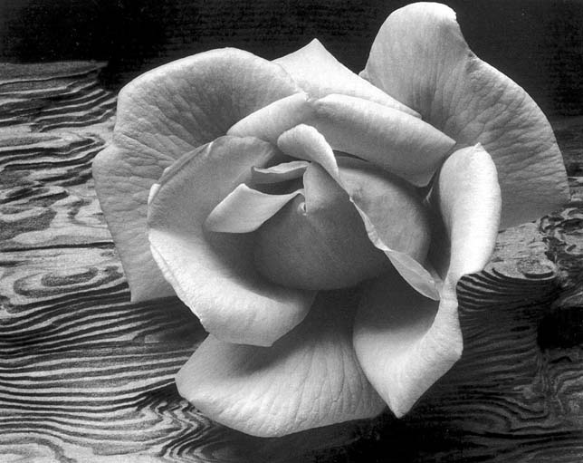 Ansel Adams Rose Driftwood